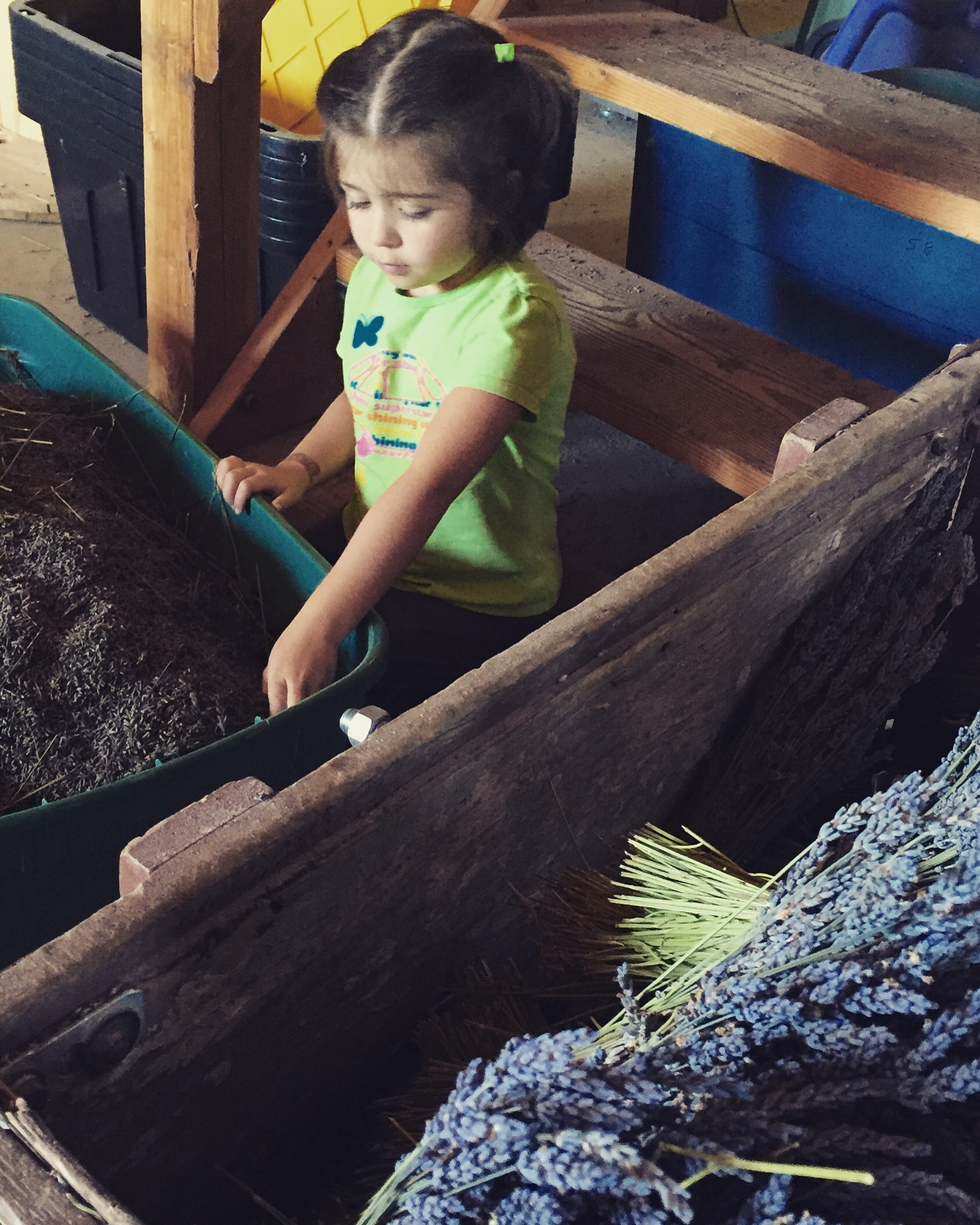 Our little lavender girl helping clean the bud, one stem at a time.