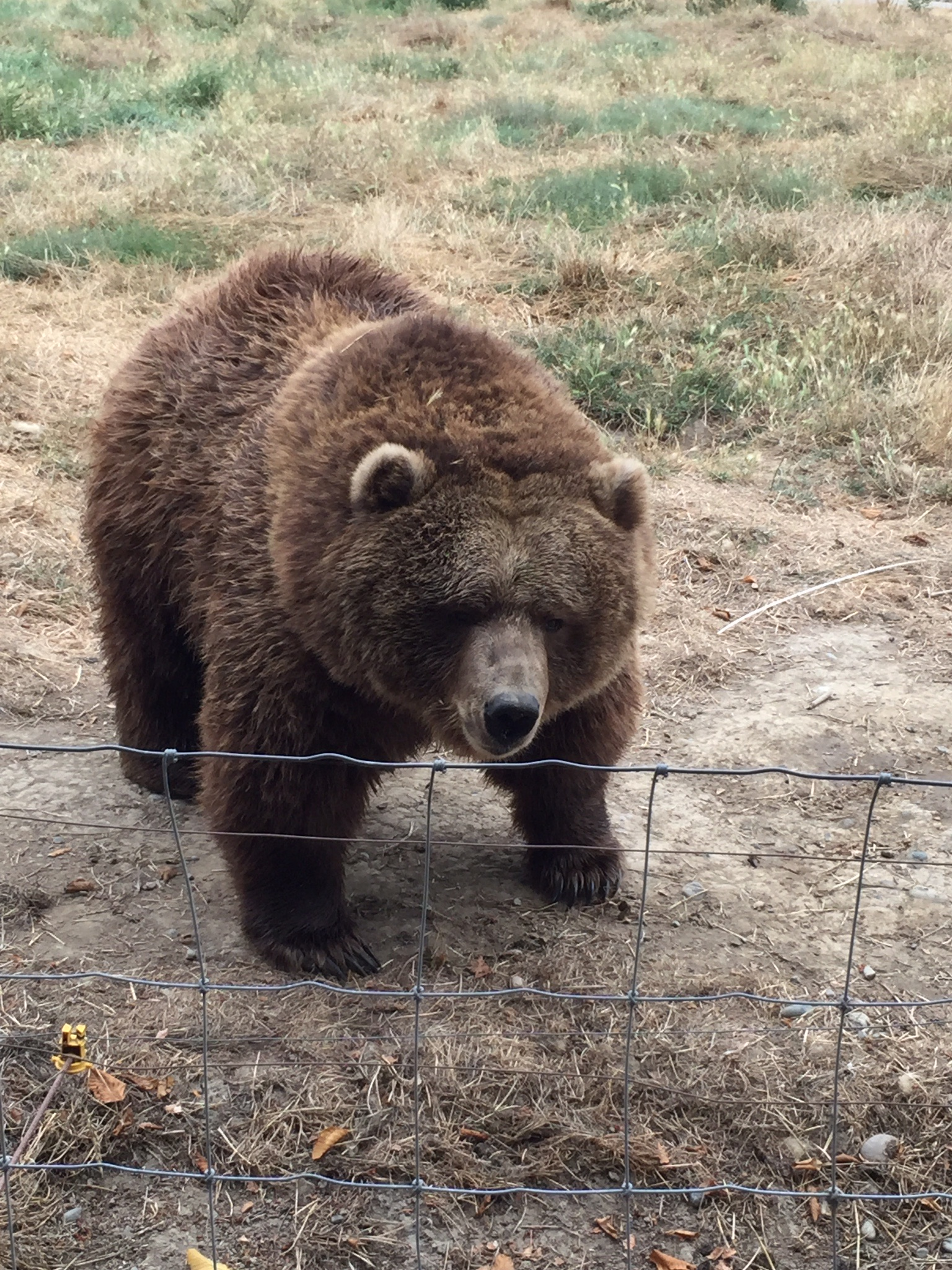 Bear at the Olympic Game Farm.jpg
