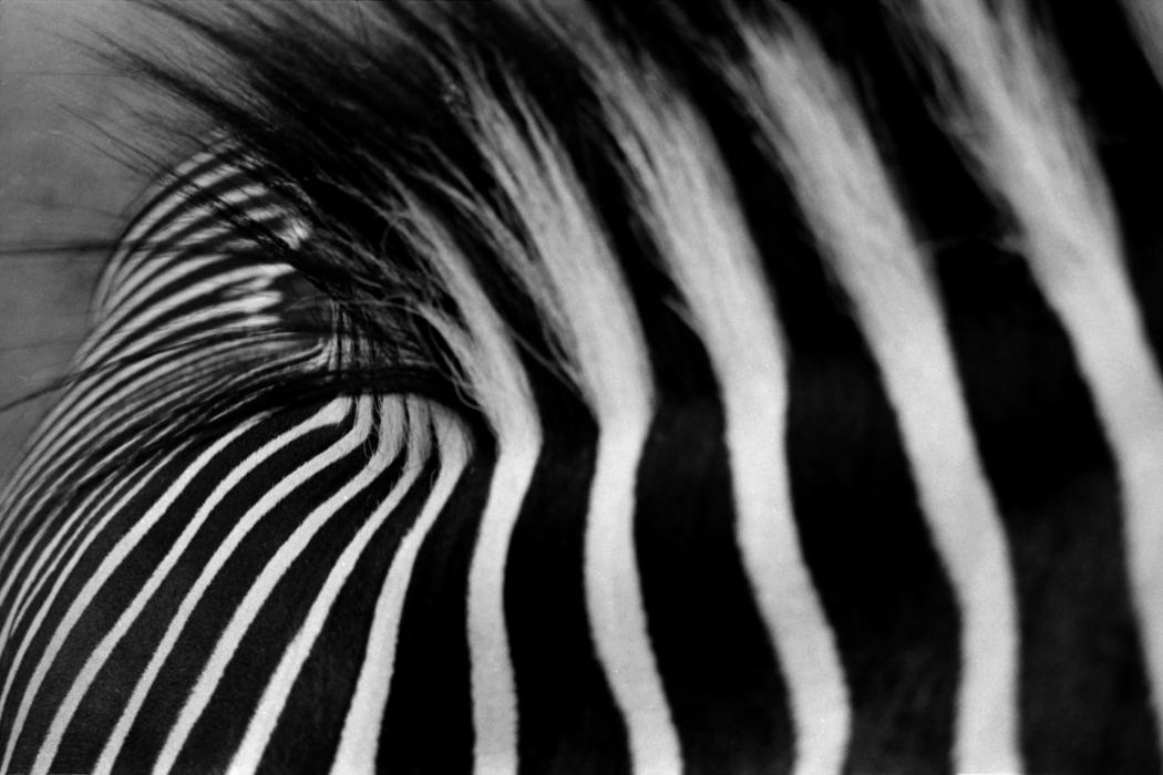 zebracleaned.jpg