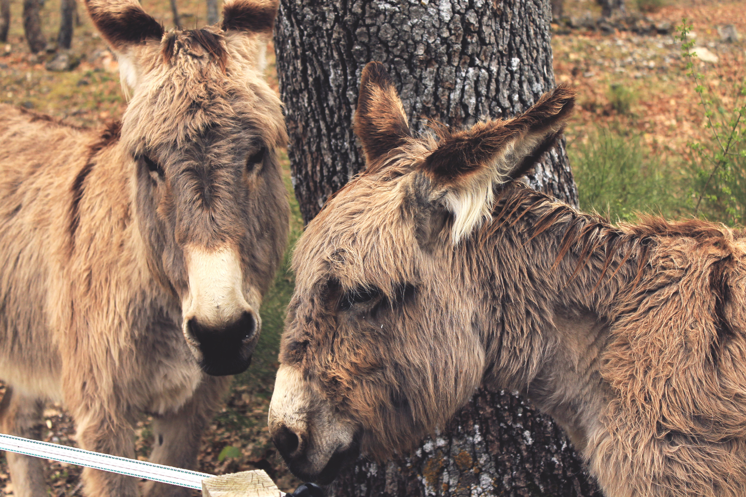 donkeys shaggy aw so cute french donks