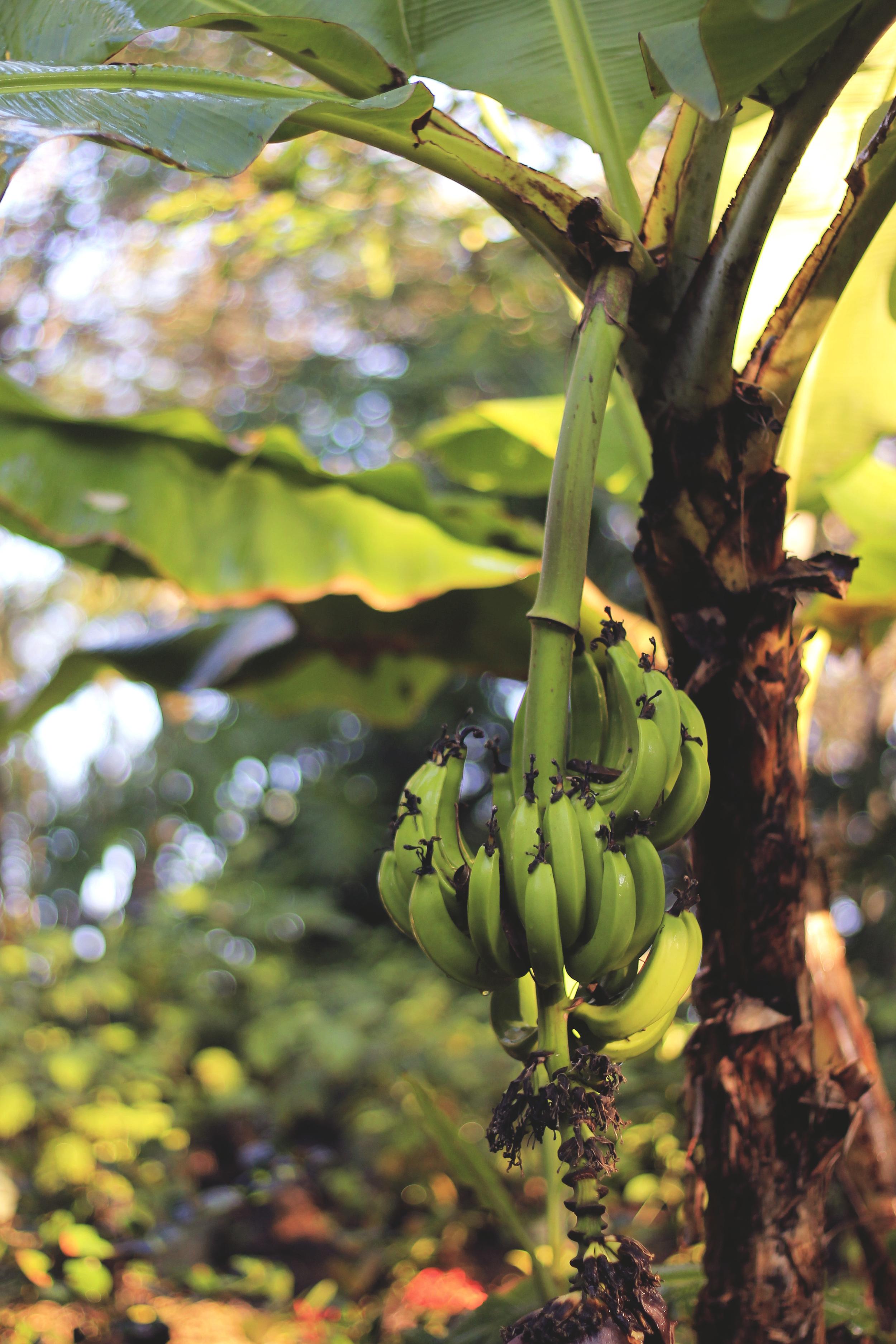 baby bananas palm tree jungle mexico