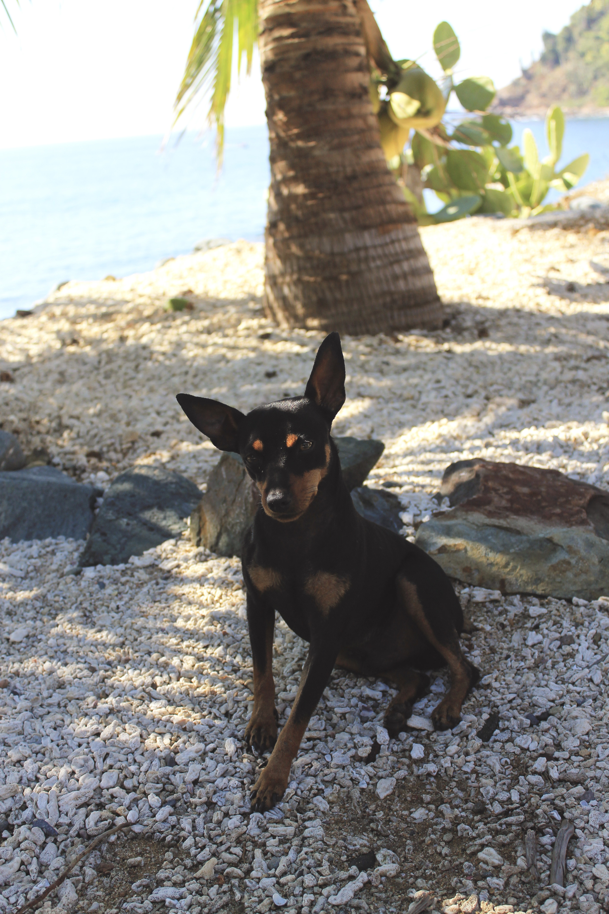 minpin on the beach in mexico puppy