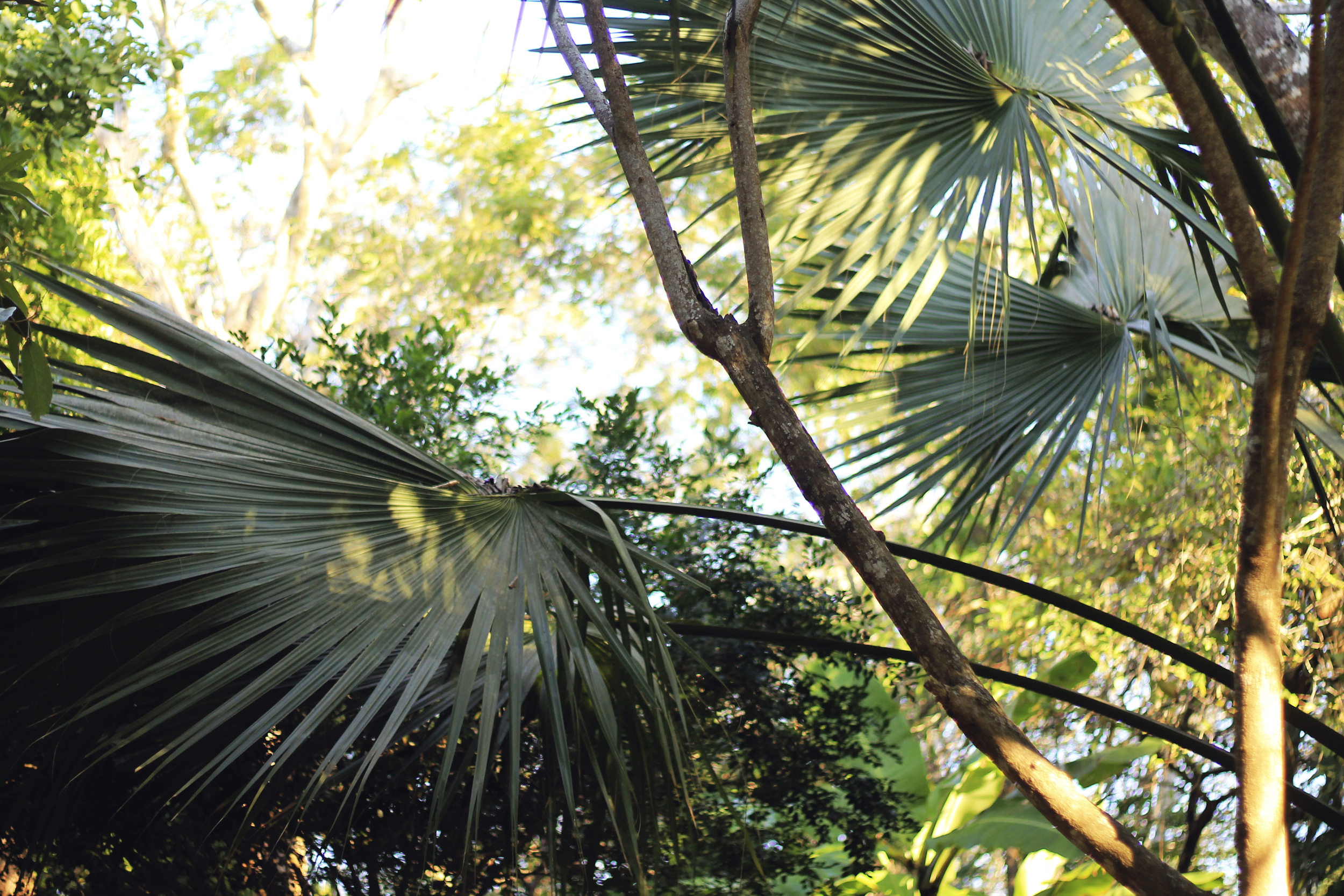 palm trees fronds leaves jungle mexico