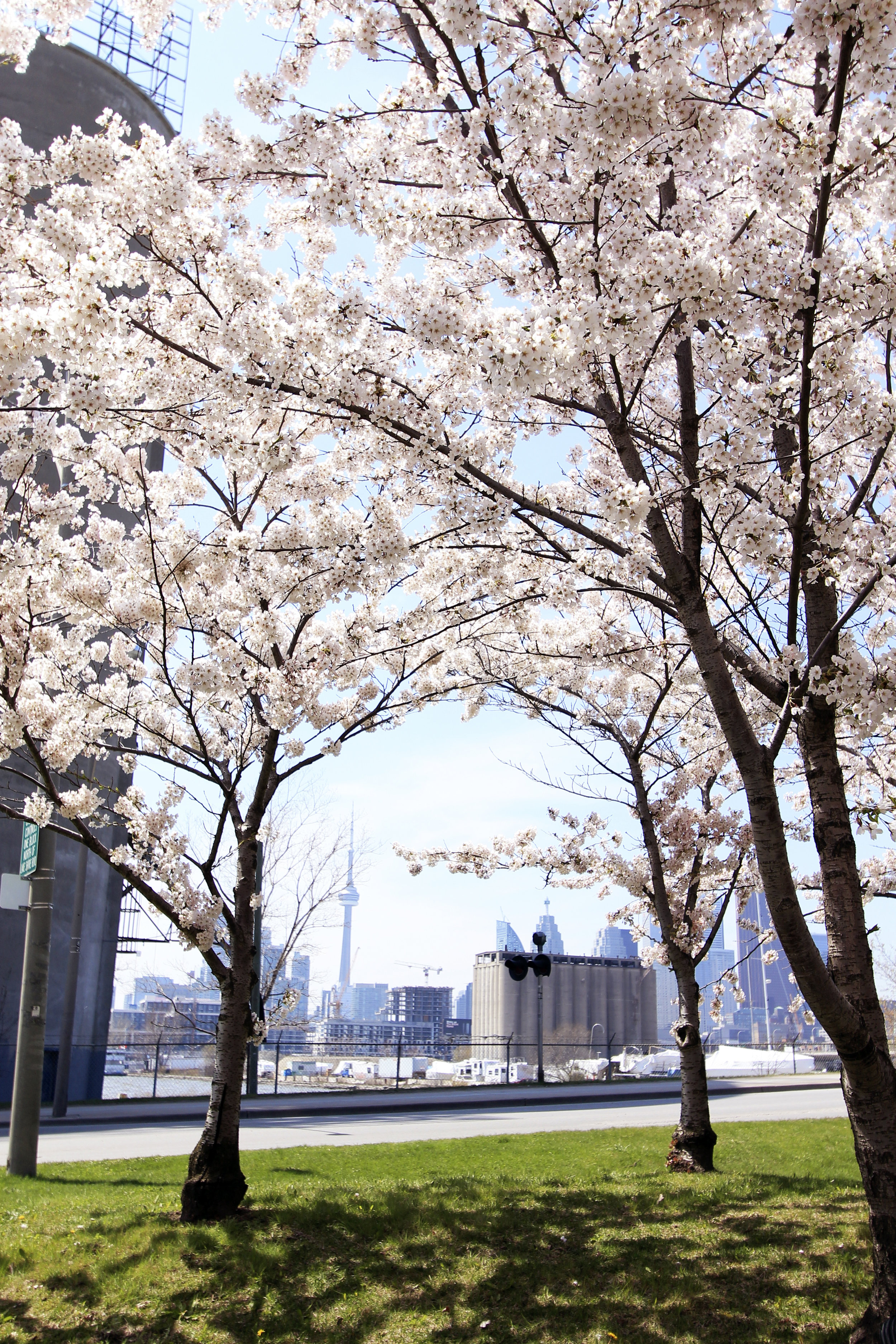 cn tower view cherry park street blossoms city.jpg