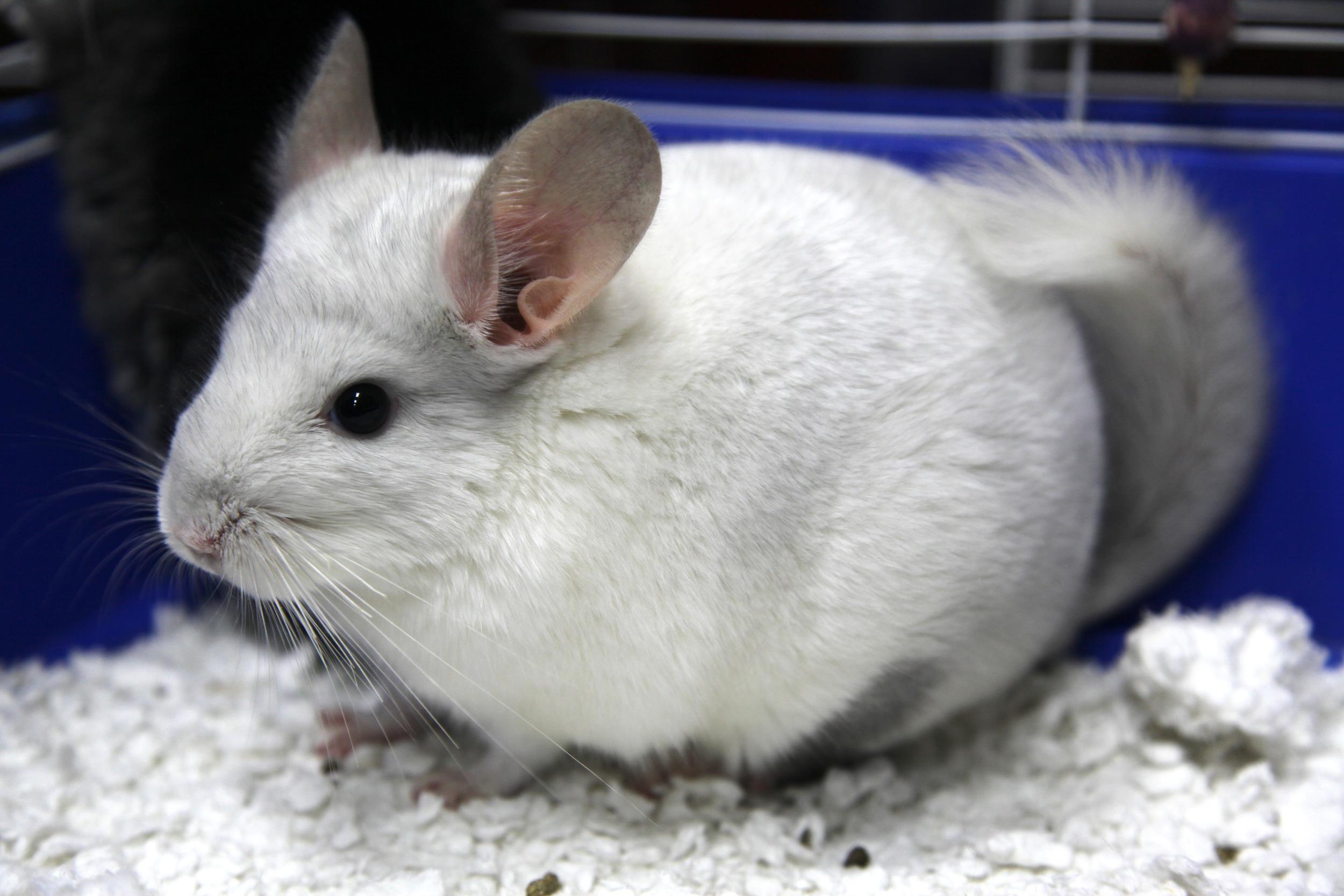 White Gerbil | Gerbils for Sale Mineola | Gerbils for Sale Nassau County