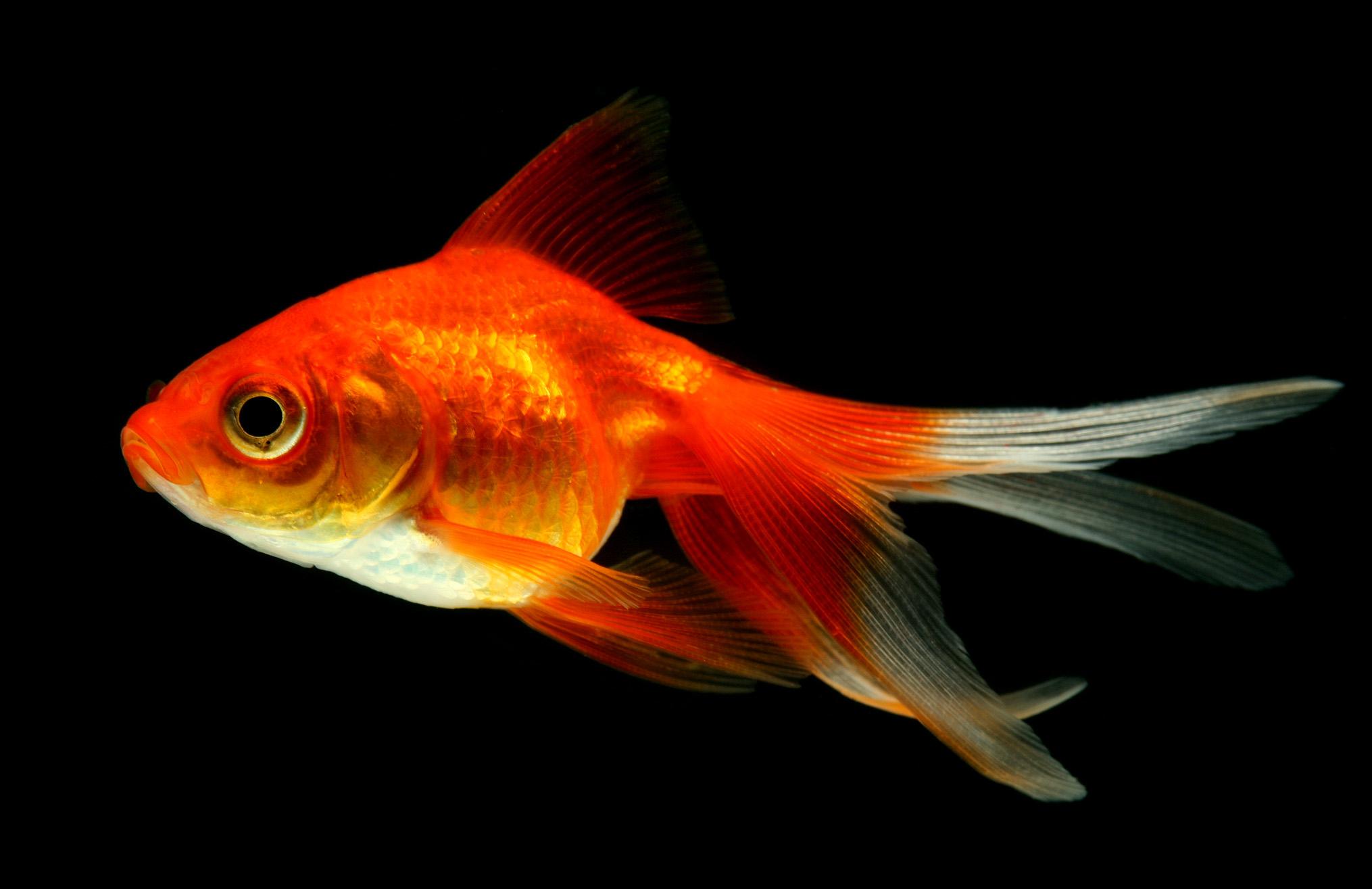 Goldfish - For Birds Only - January 17, 2018.jpg