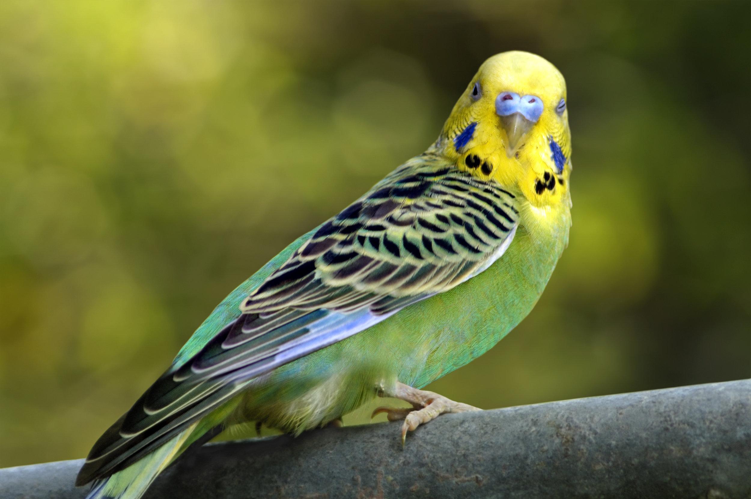 Green Parakeet.jpg