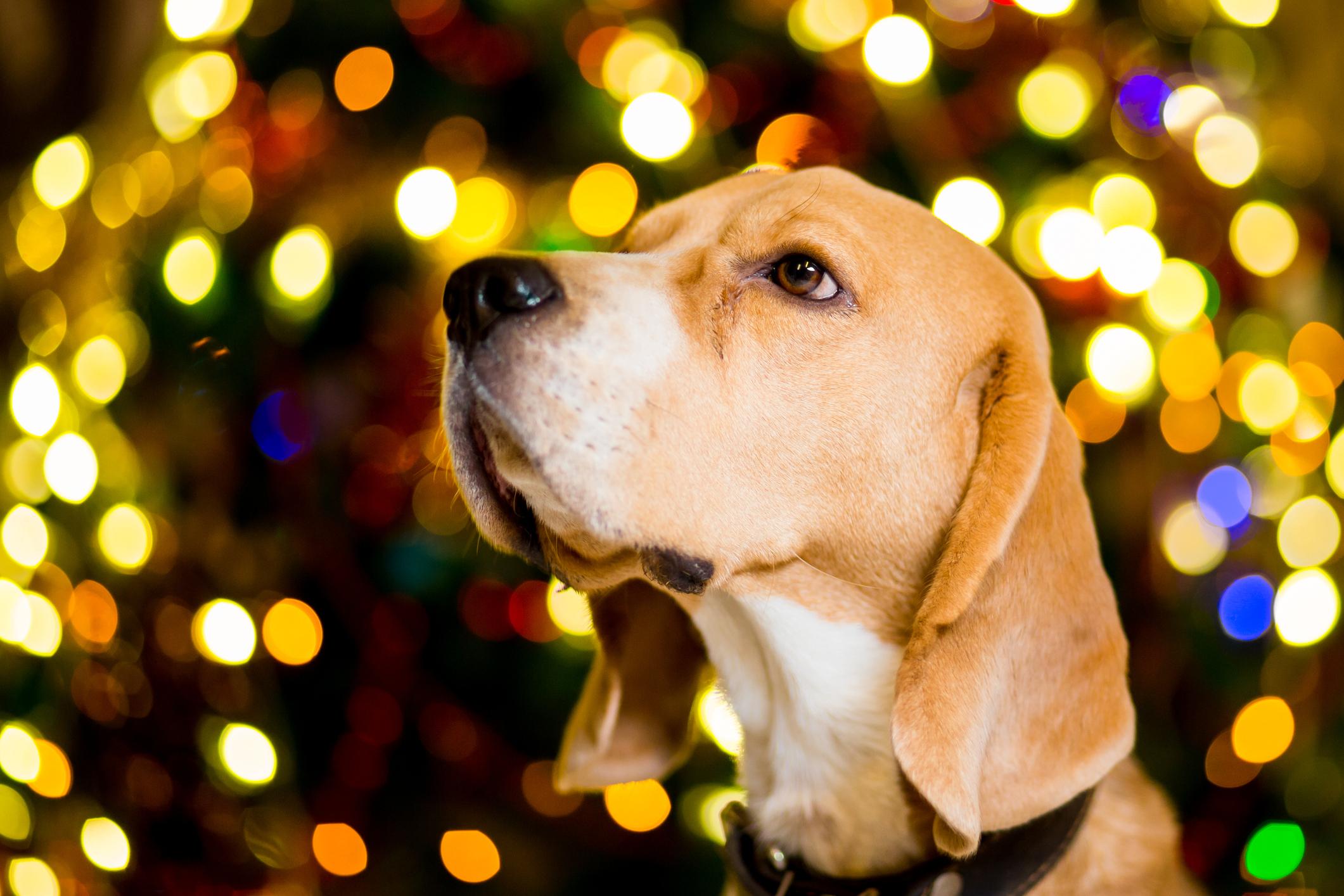 christmas tree dog - dec 5, 2018.jpg