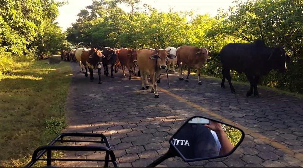 cows3.JPG
