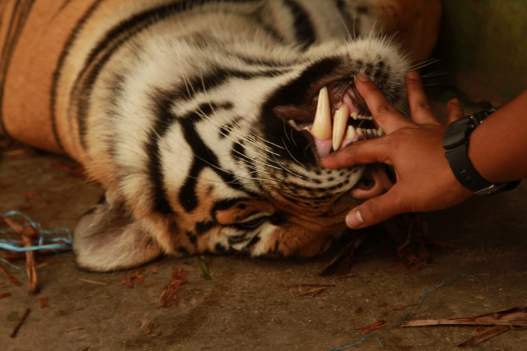 Tiger-Kingdom-Bengel-tigers-near-Phuket-Thailand-28-768x512.jpg