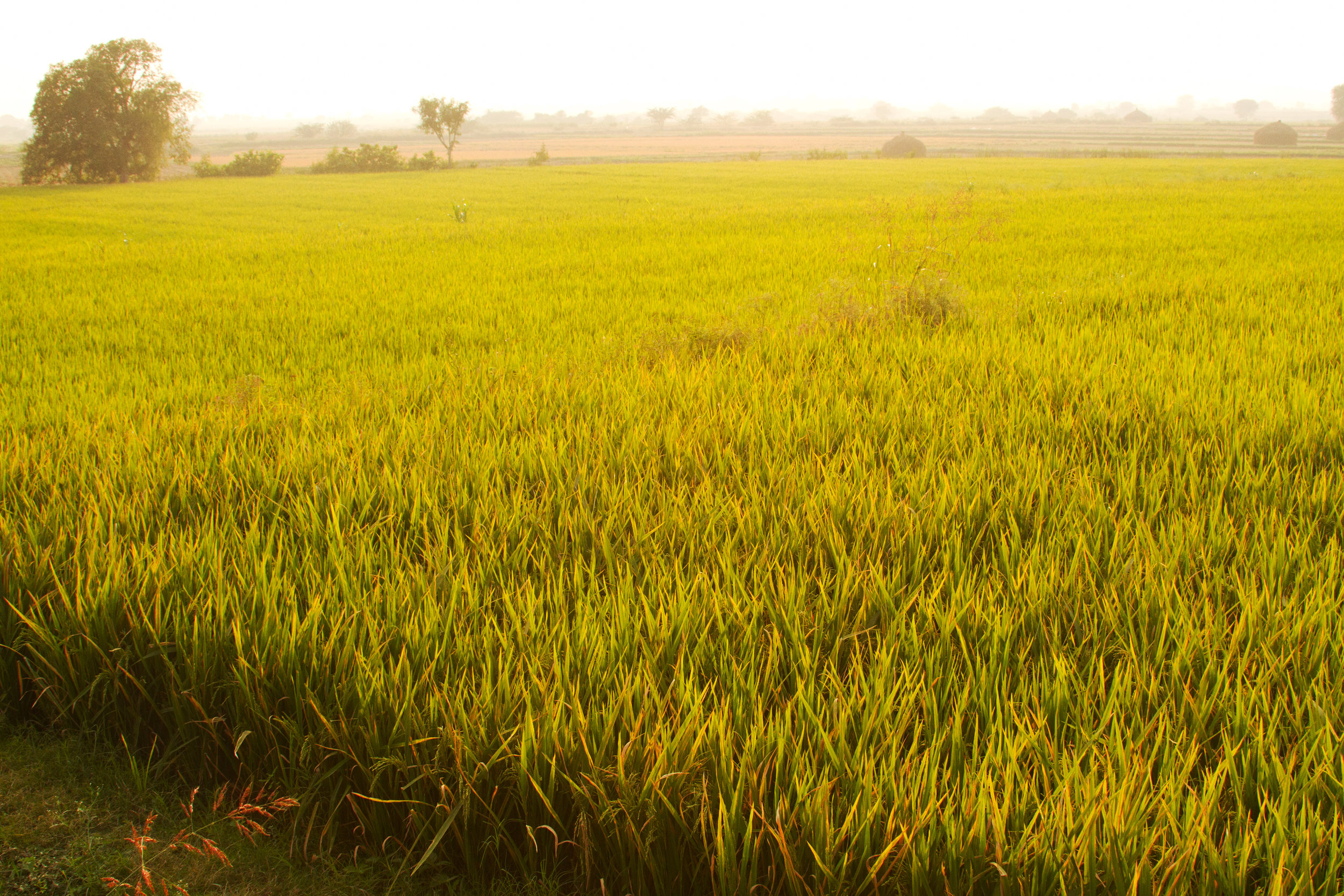 Rice fields are everywhere in southern India.