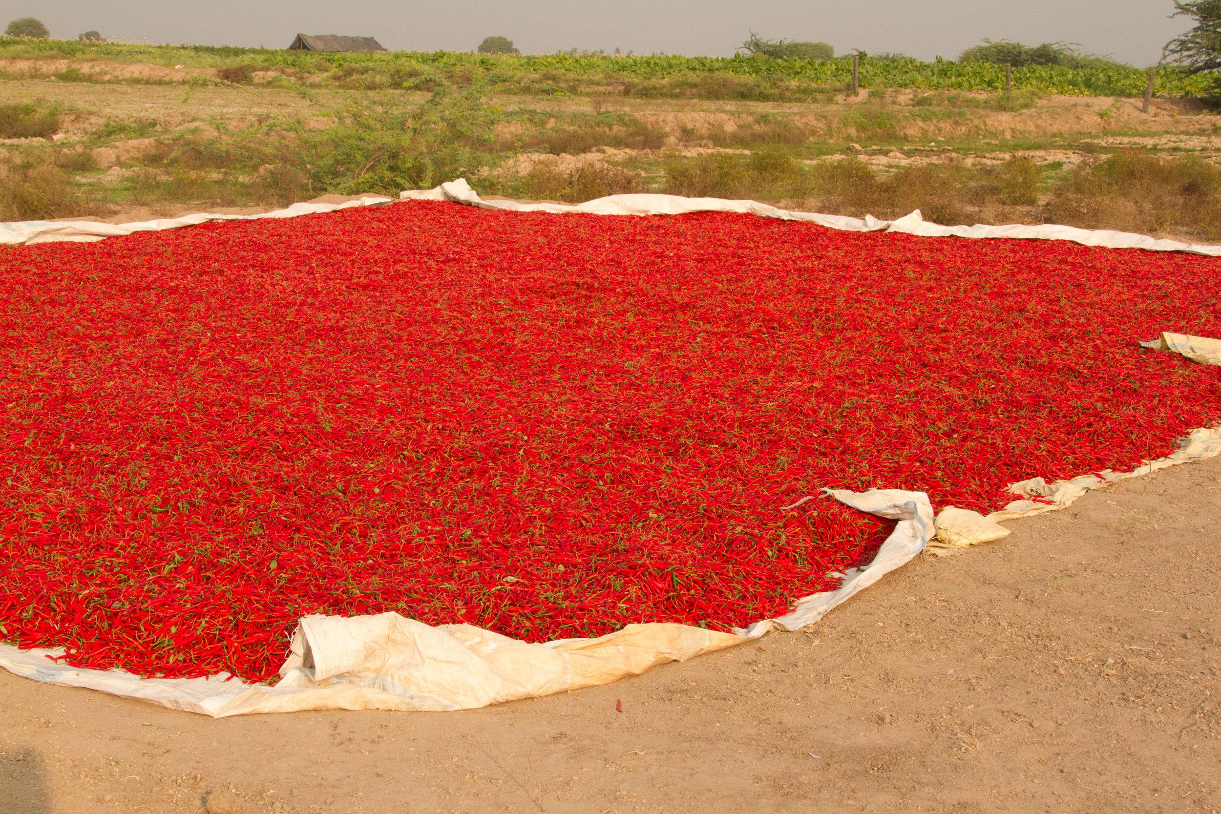Vinukonda red peppers drying