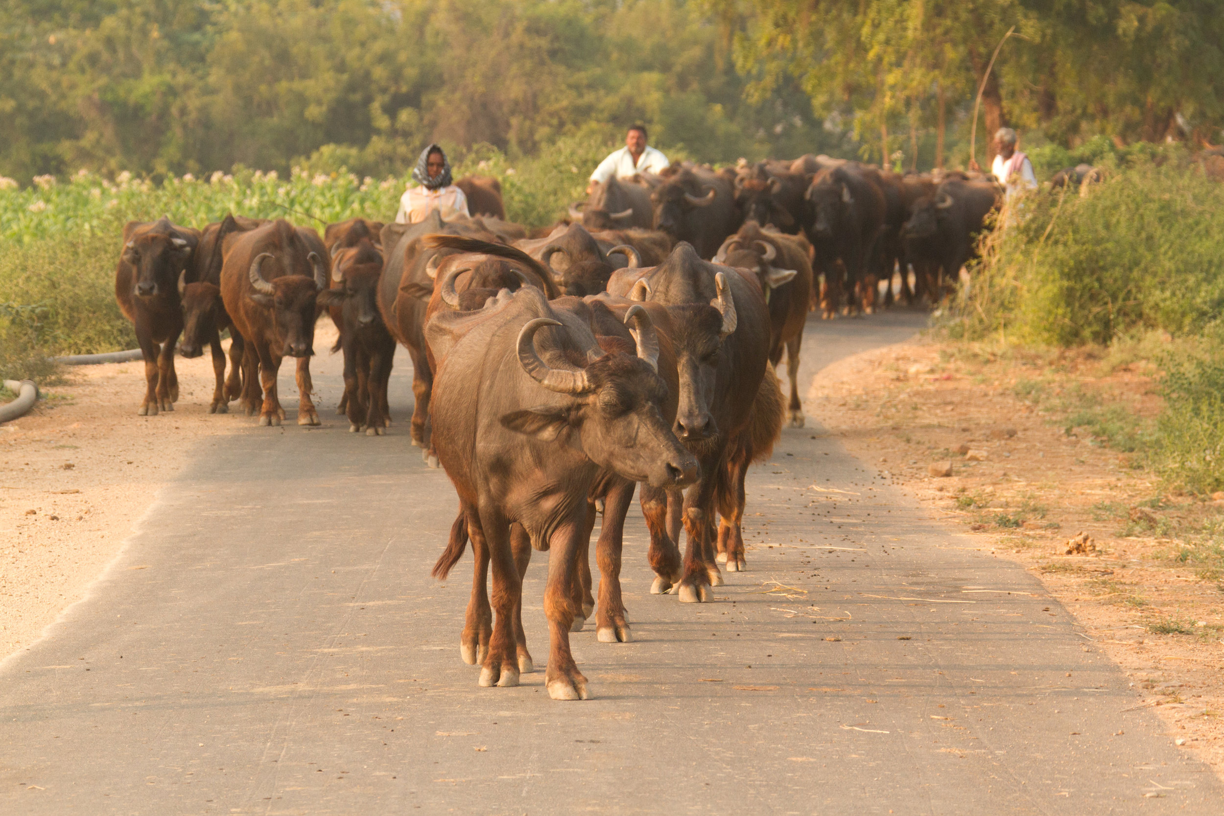 Water buffalo on the highway.