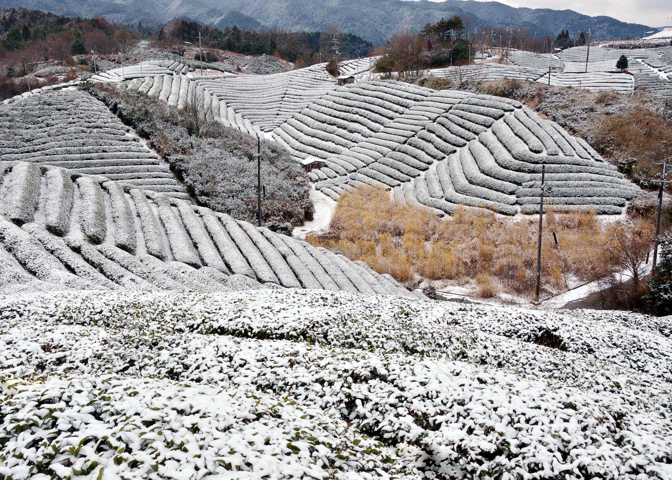 Tea valley in Ujitawara. 湯屋谷