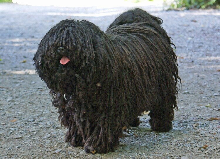 Puli dog via Csalfa Sommer/ Wikipedia Commons
