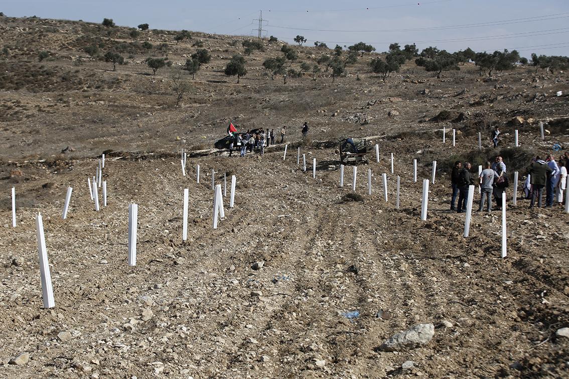 Geplante olijfbomen met bescherming zodat de geiten de bomen niet eten