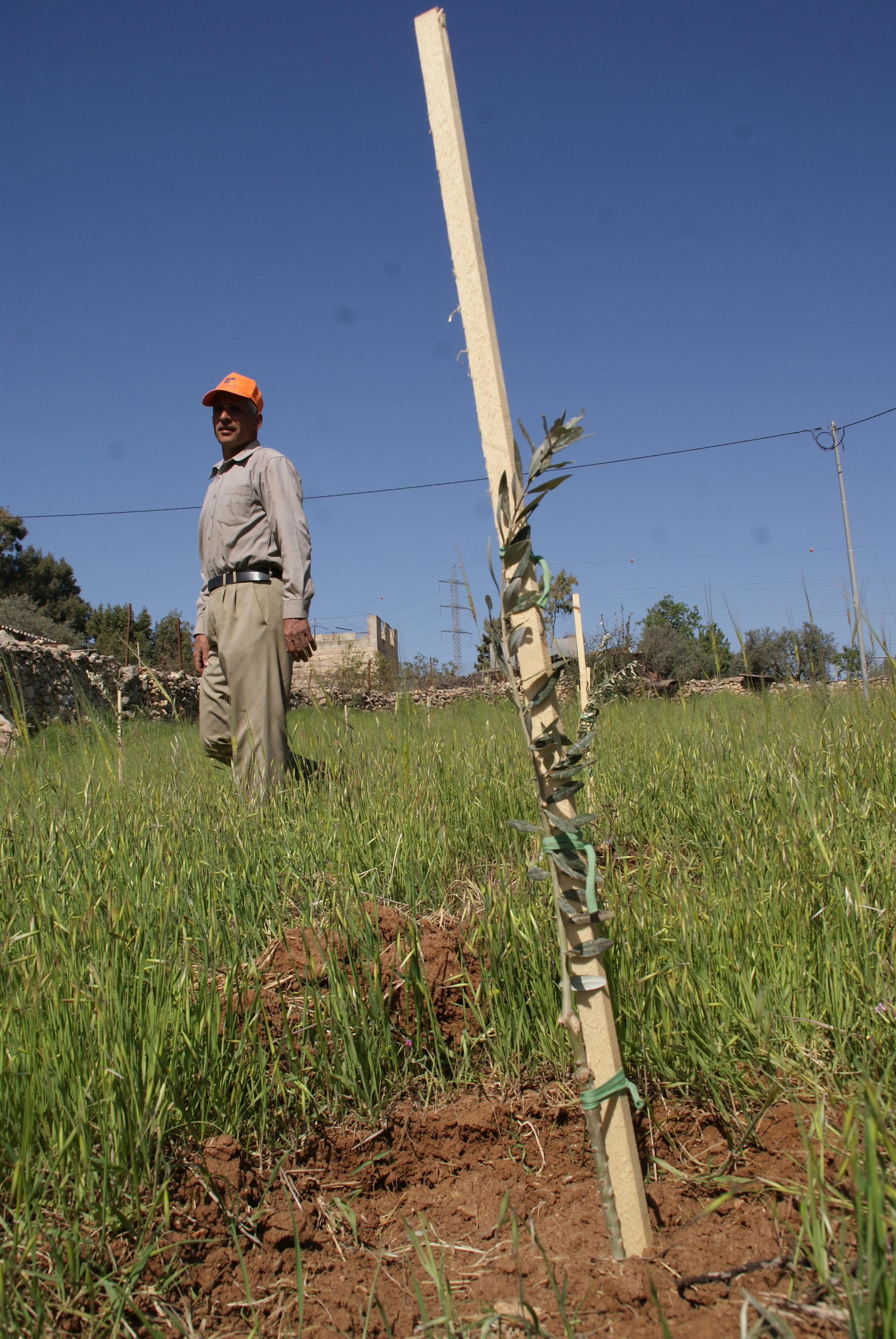 Een olijfboer kijkt naar het jonge boompje dat op zijn land is geplant