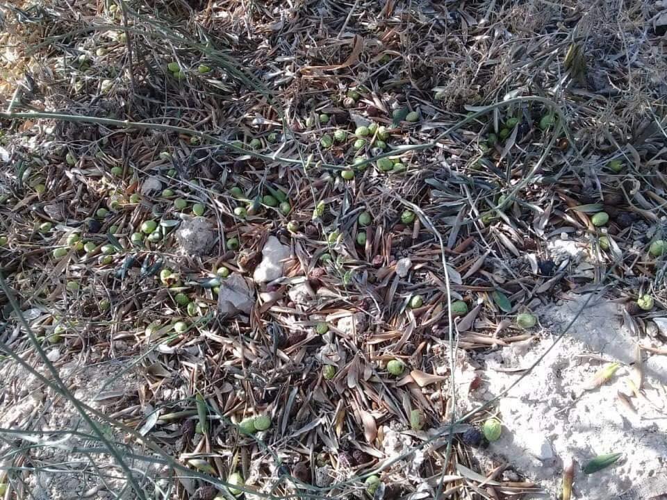 olijven onder de boom waarvan de oogst gestolen werd, Far'ata