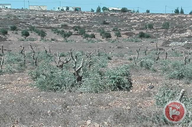Settlers 100 trees Ramallah.jpg