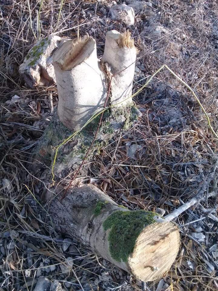 Olijfboom vernield door kolonisten