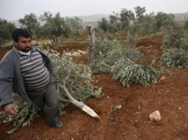 30 olijfbomen vernield.png