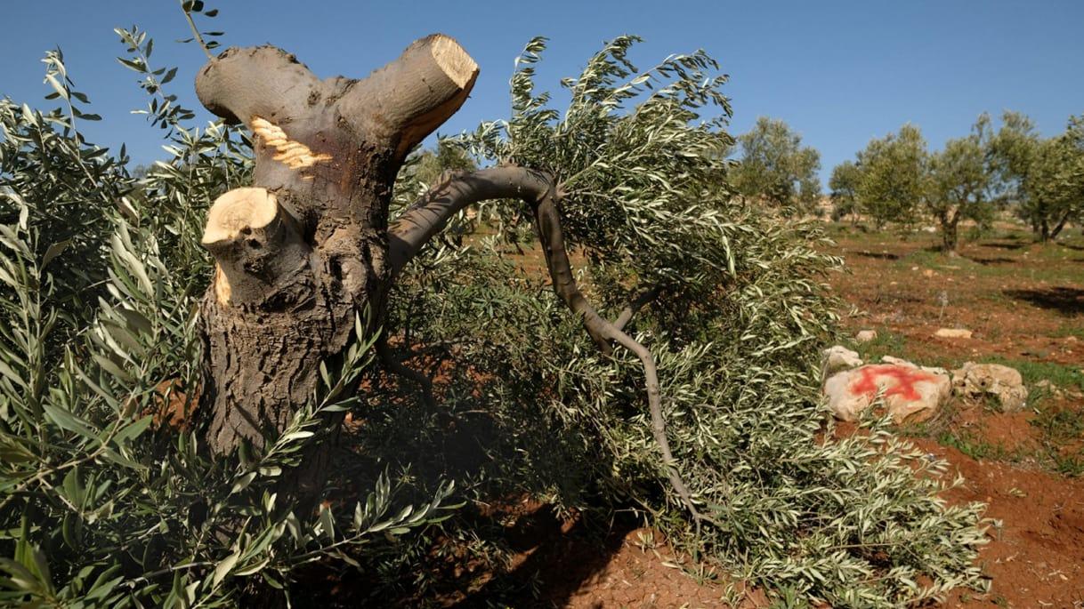 Kapot-gezaagde olijfboom in Al-Mughayyir. Foto: Alex Levac