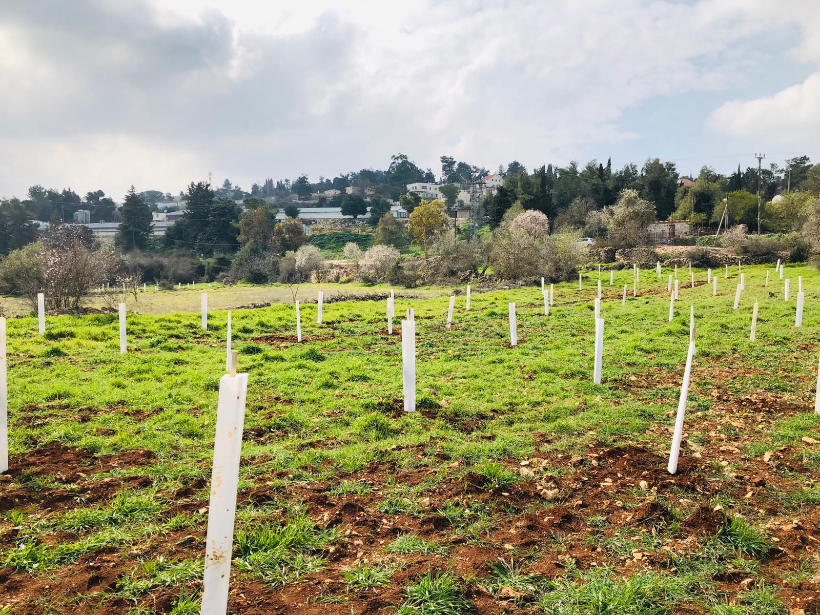 Olijfbomen Margriet Teders-boomgaard