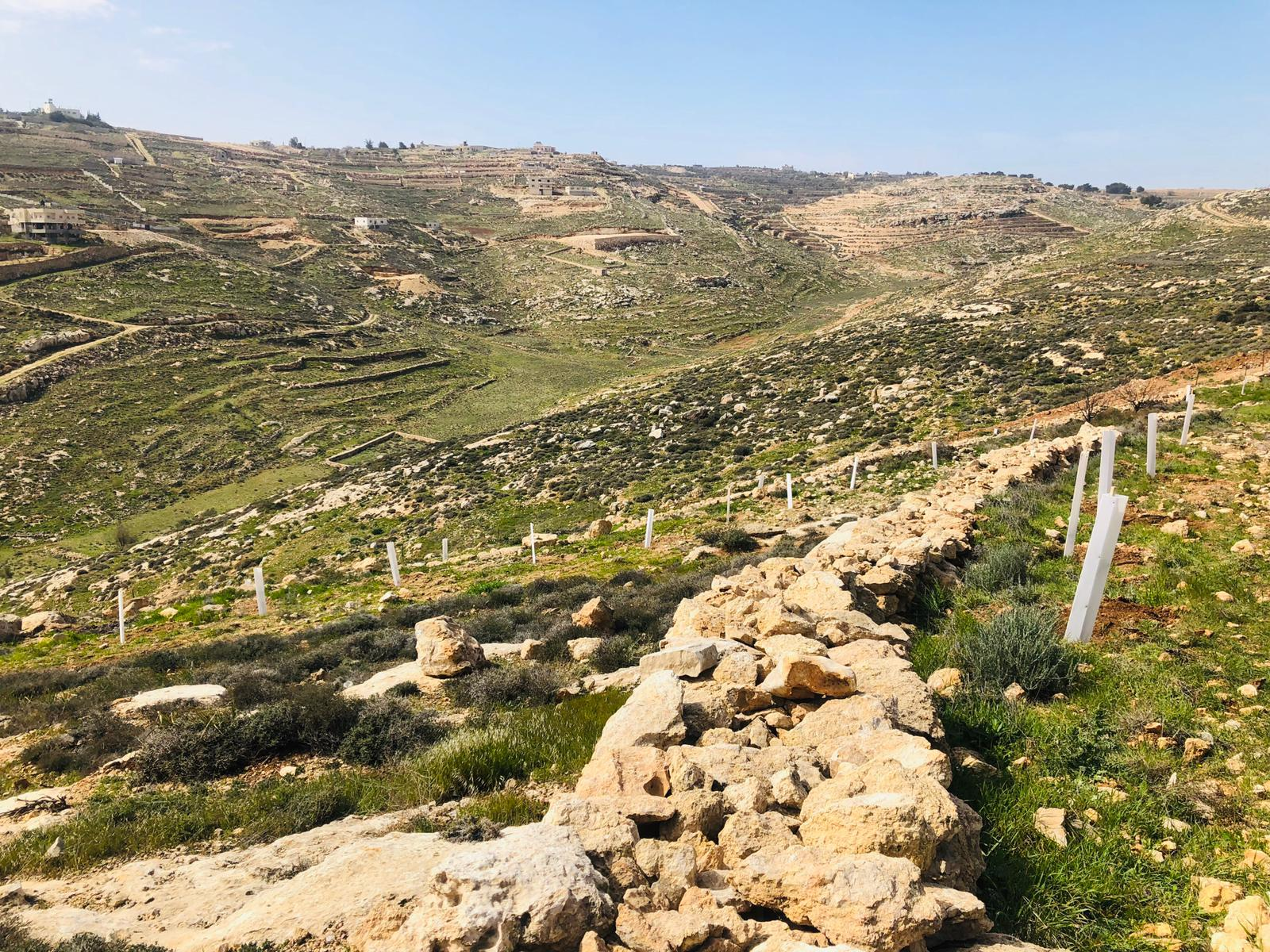In de witte hulzen zijn de olijfbomen beschermd tegen hongerige schapen