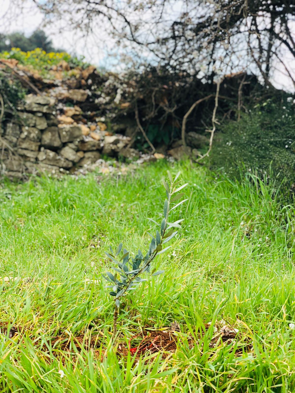 Olijfboom - een teken van hoop