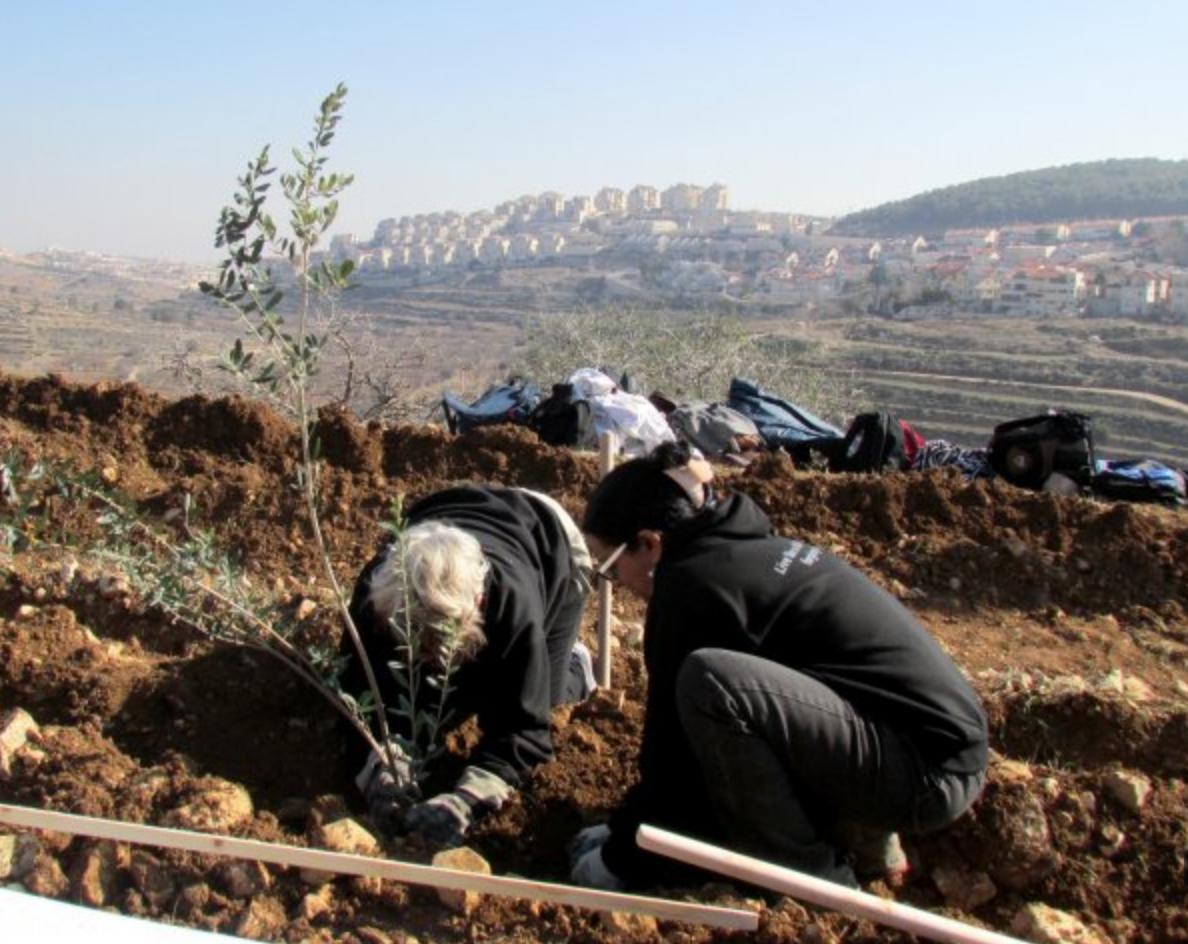 olive planting.png
