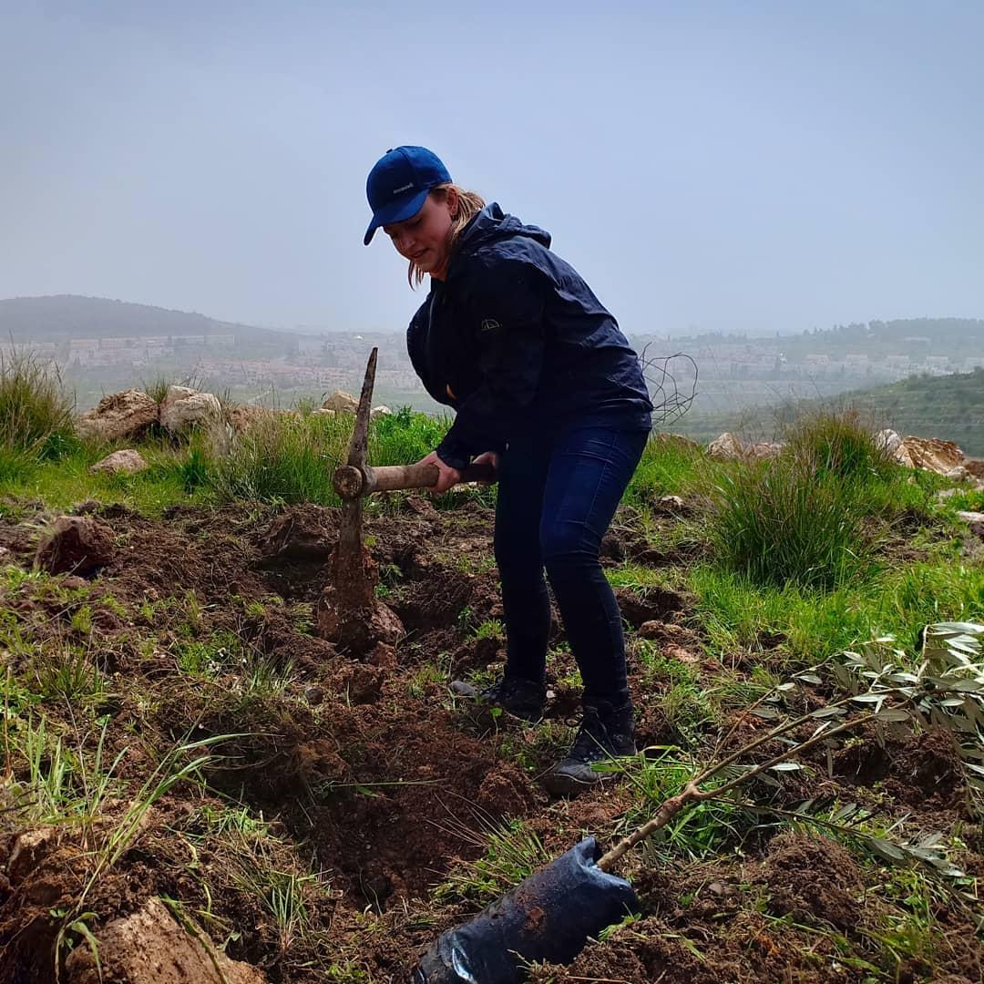 Een internationale vrijwilliger plant een van de olijfbomen