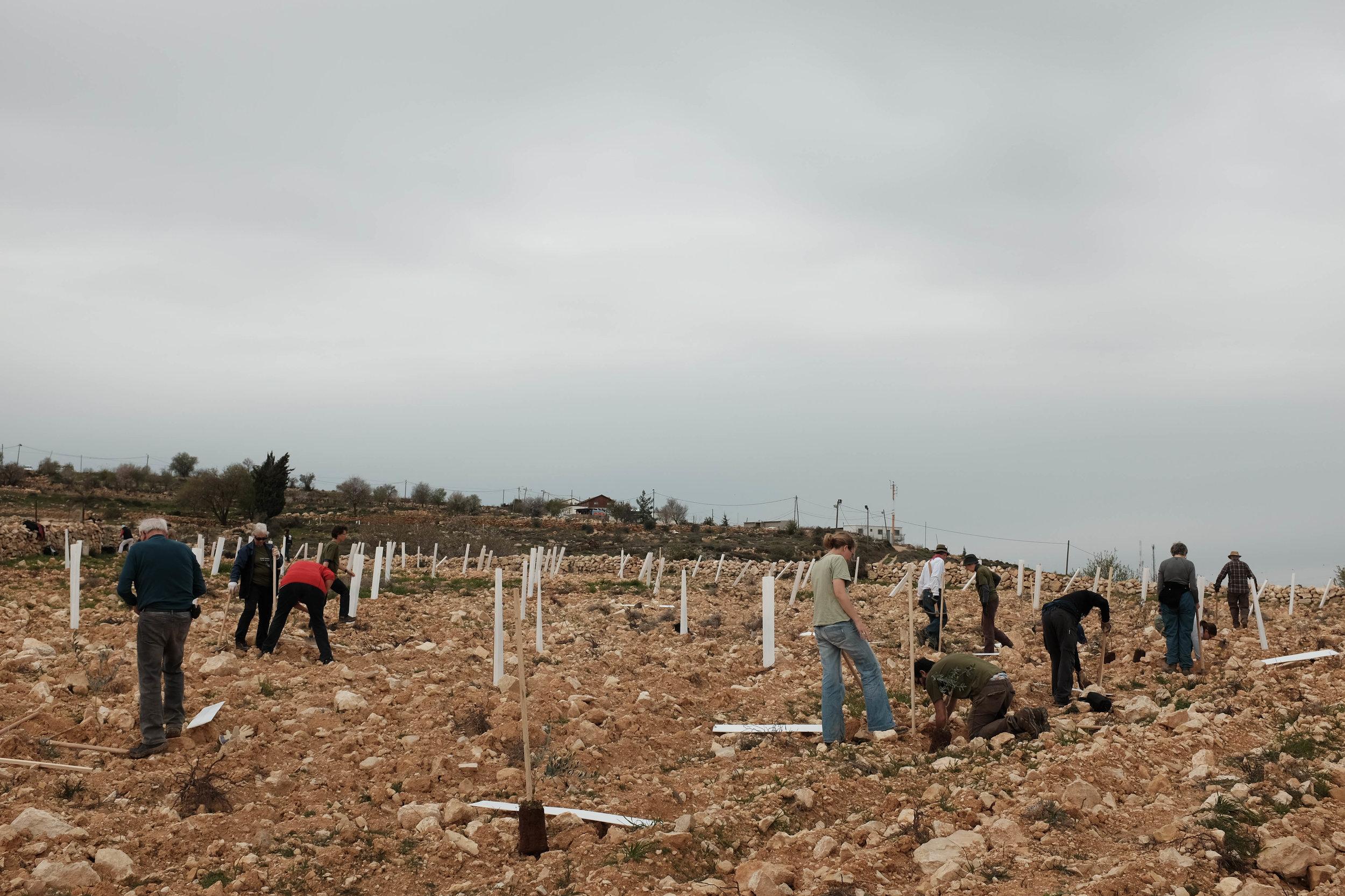 Internationale vrijwilligers planten olijfbomen aan bij Nicola al-Saras