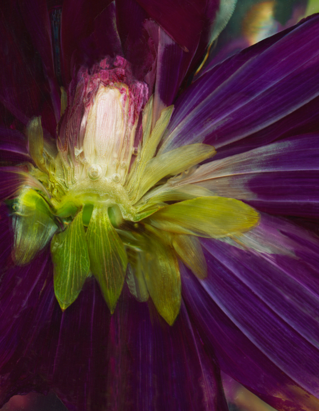 Purple Dalia