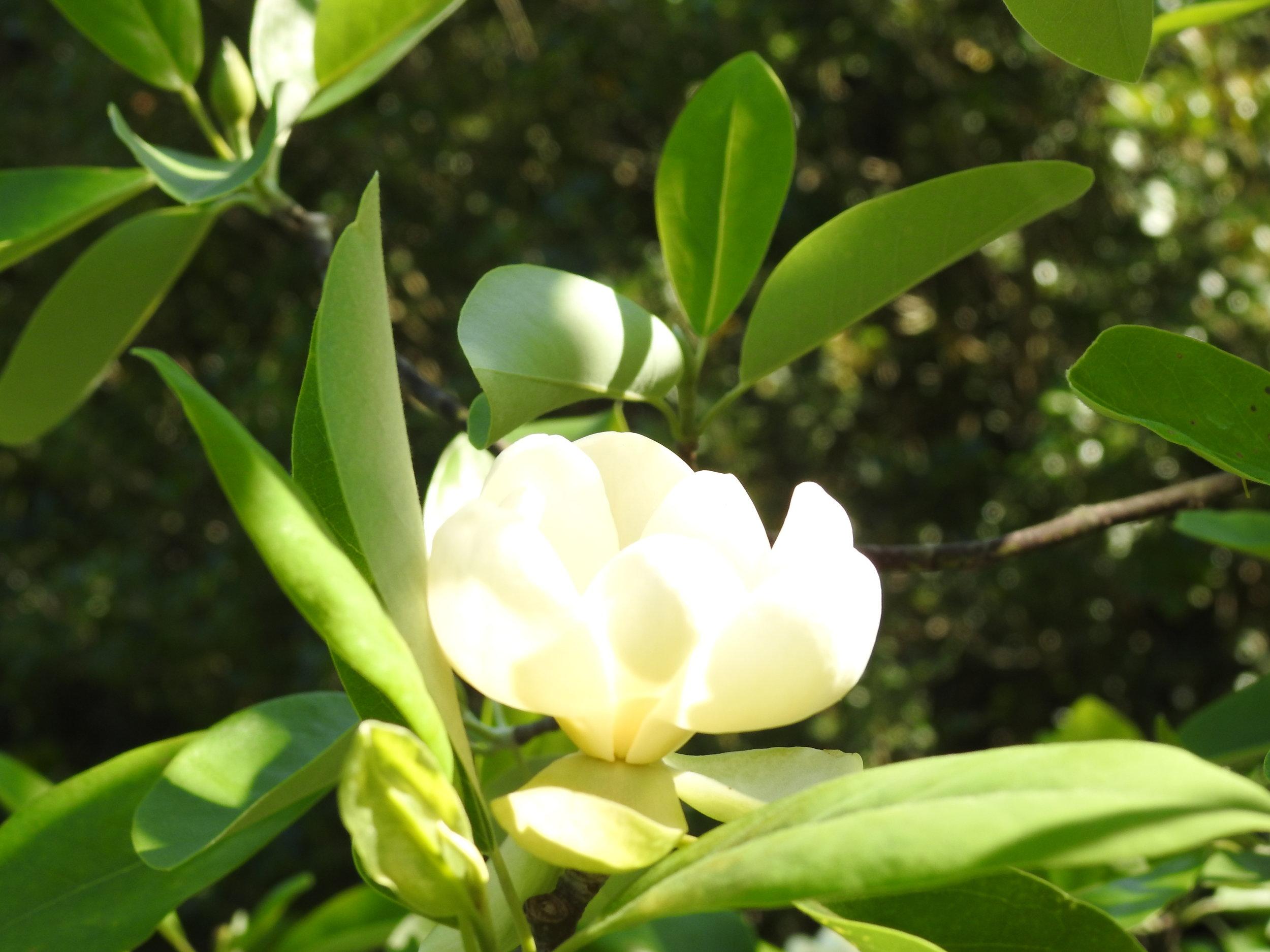 A magnolia cup of sunshine