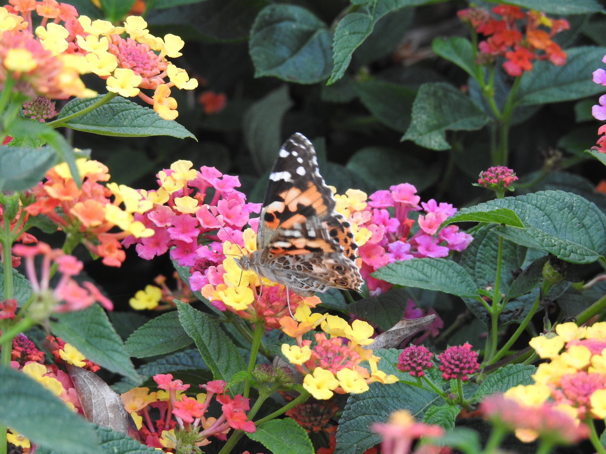 Lantana and butterfly at Brookside Gardens, Silver Spring, Maryland