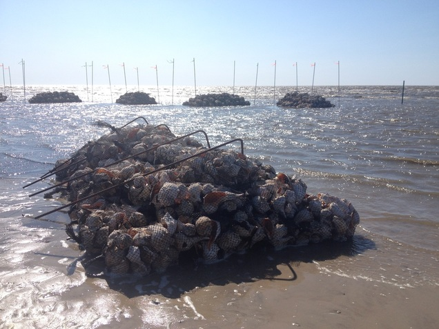 South Reeds Beach oyster reef April 2015.
