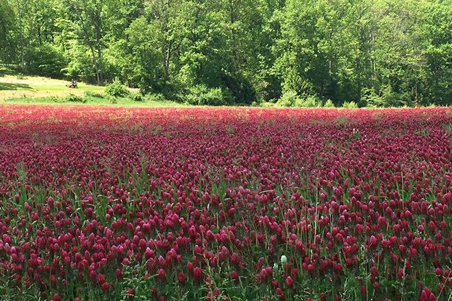 Red-Clover-Fieldsmaller-660x440.jpg