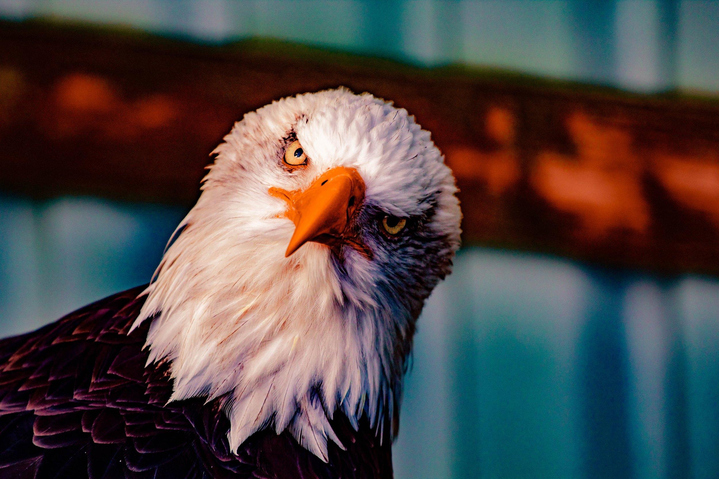 animal-avian-bald-eagle-1200854.jpg