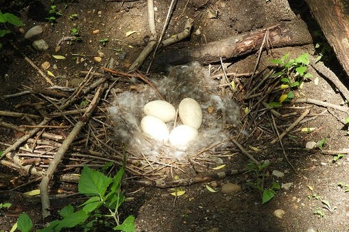 A Canada goose nest found on a Petty's Island trail.