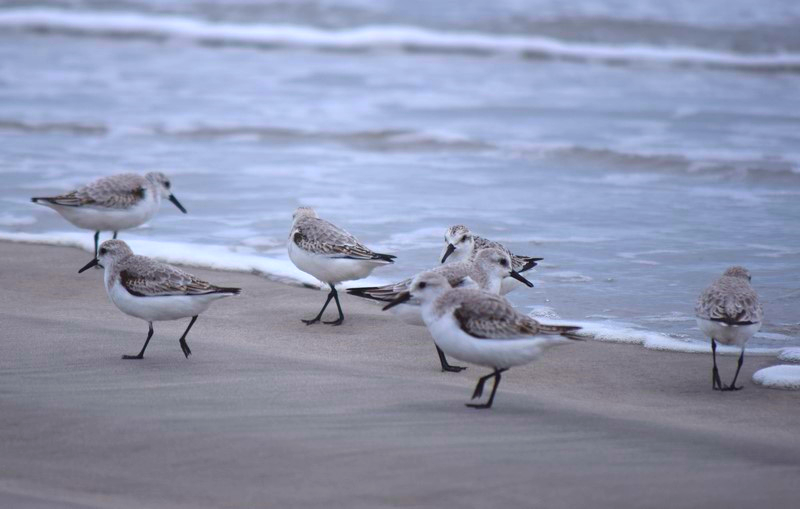 Delaware Bay shorebirds. Photo Credit: Chris Neff