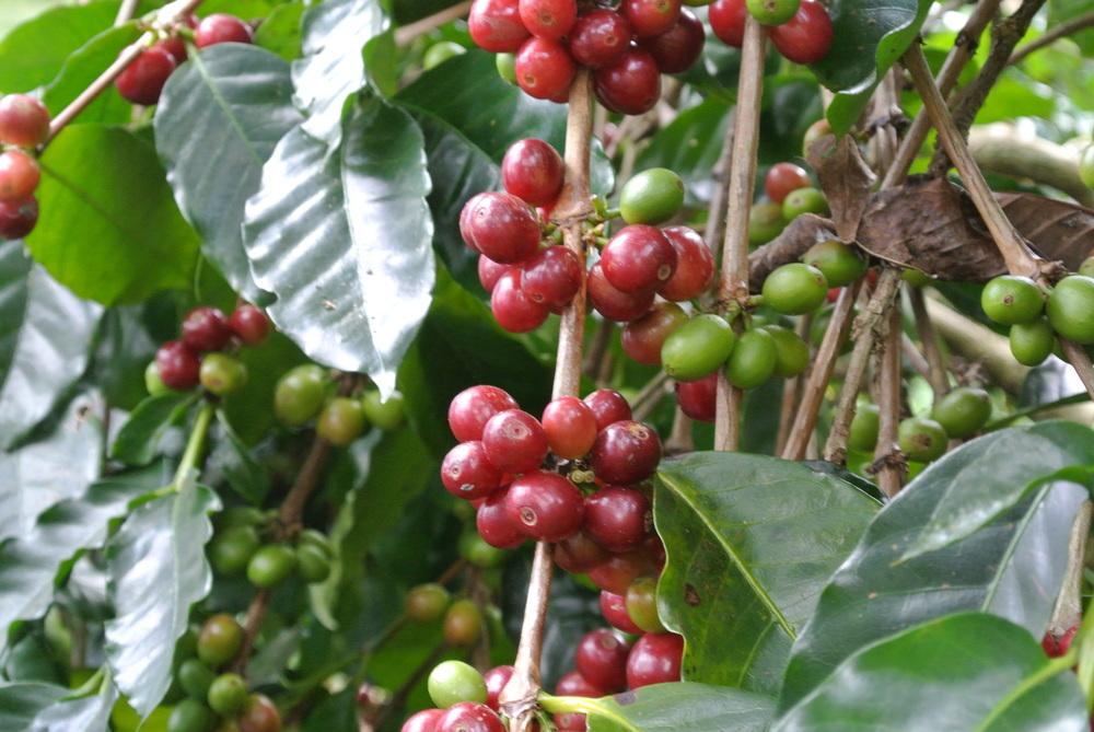 Ripe, plump Bali berries.