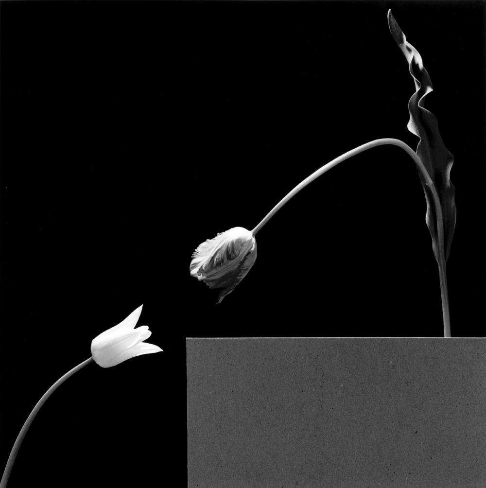 1403-Two Tulips,1984-300dpi-dup.jpg
