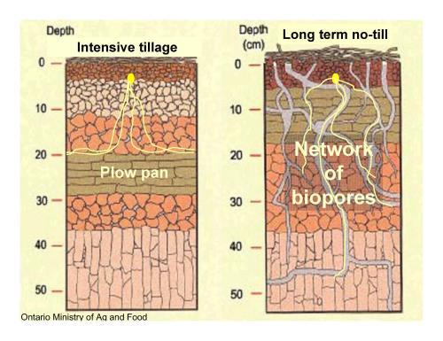 comparison of root penetration into soils using till vs. no-till methods