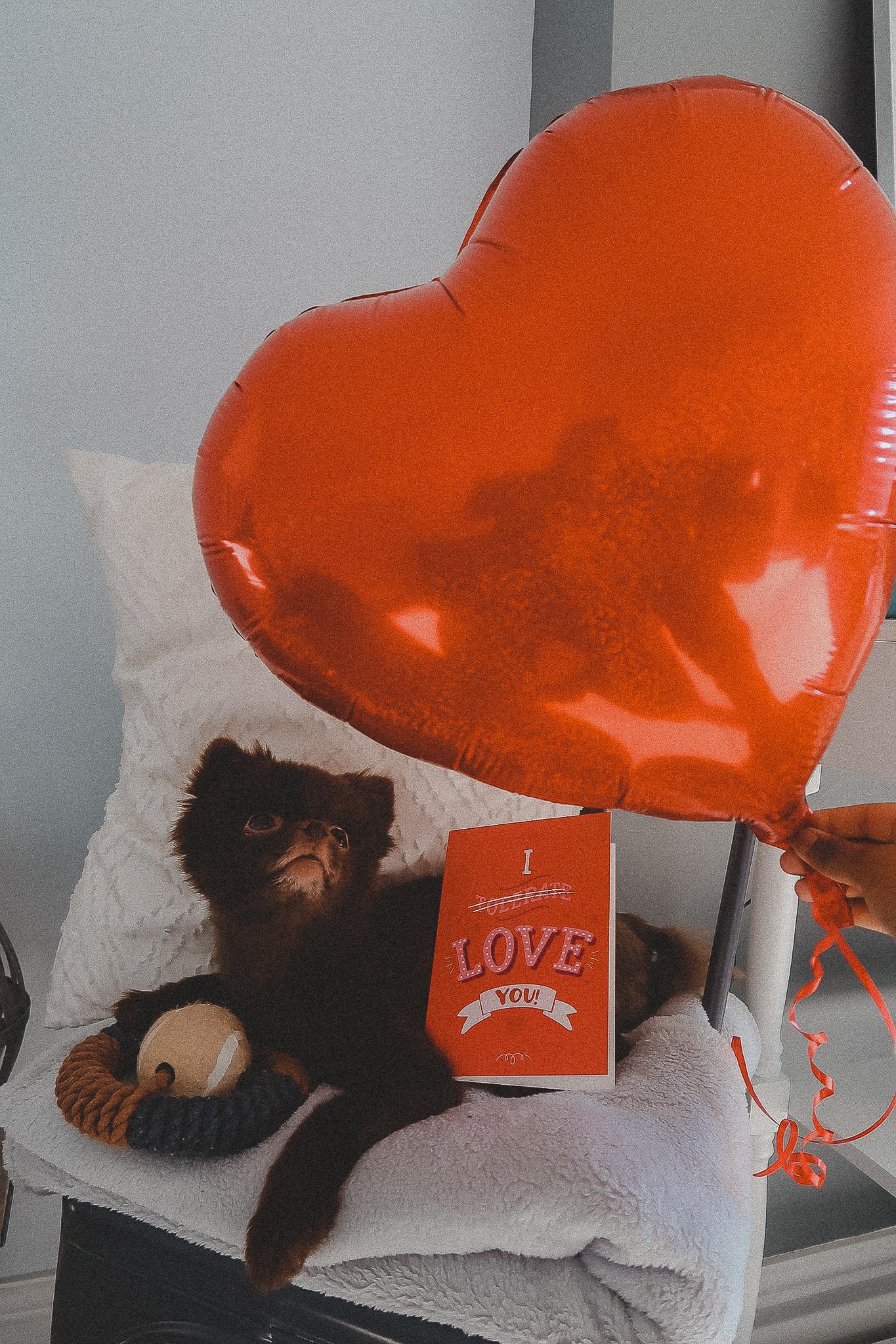 Chocolate Brown Pomeranian Valentines Day