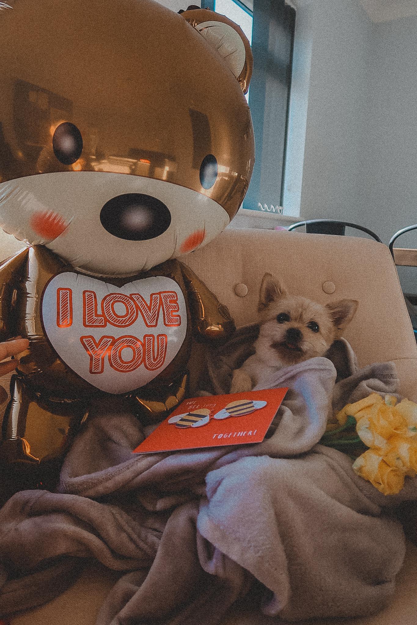 Yorkie Pomeranian Cross Valentines Day Puppy