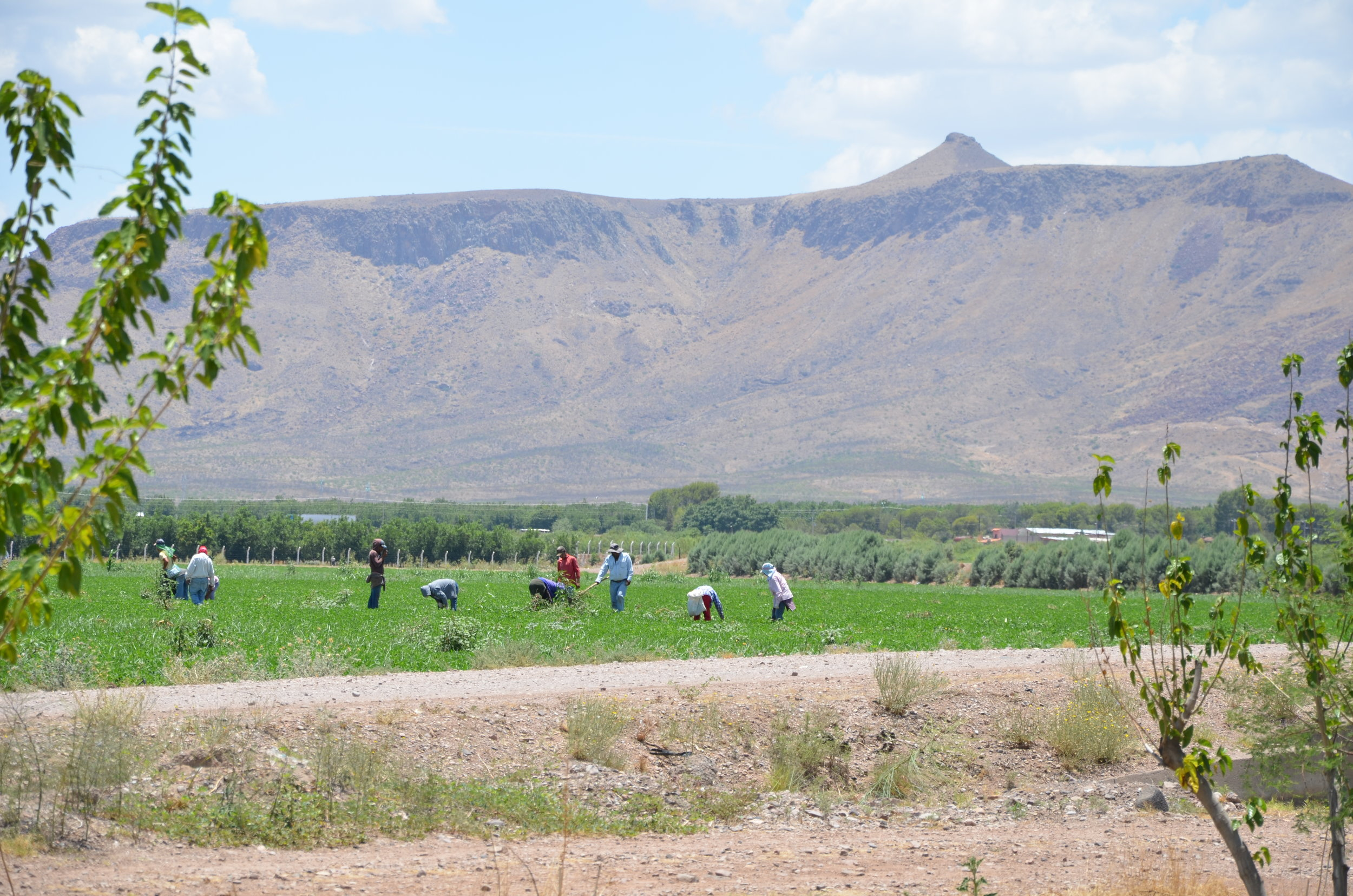 Workers in a field near Meoqui, Chihuahua. July 2014.
