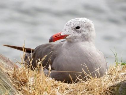 Nesting Heermann's gull. Photo credit: allaboutbirds.org