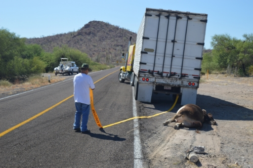 Truck driver pulling cow from roadway.