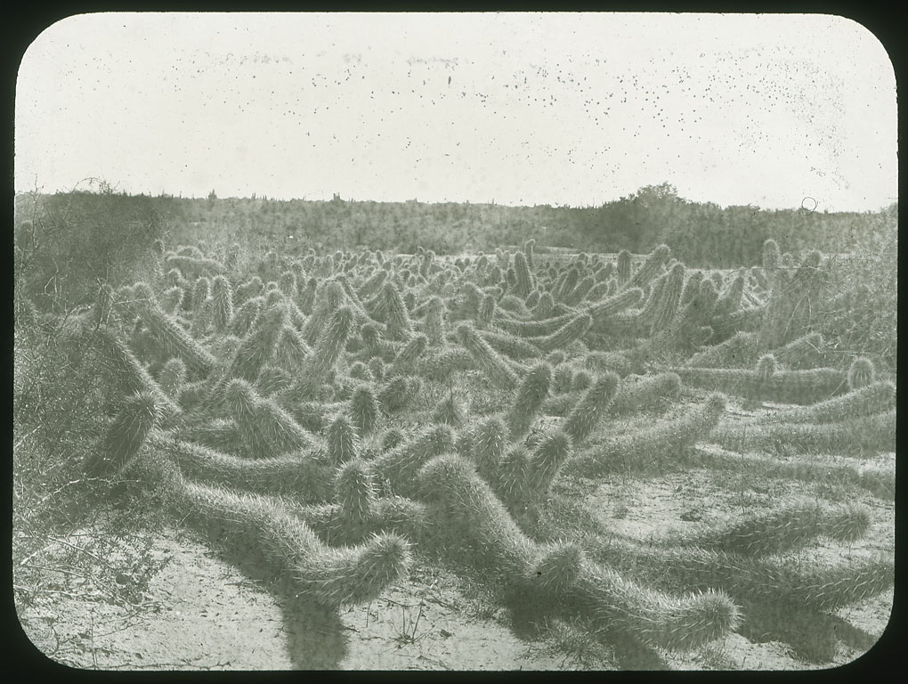 The devil's cactus, or creeping devil. 1905 picture by Edward A. Goldman.