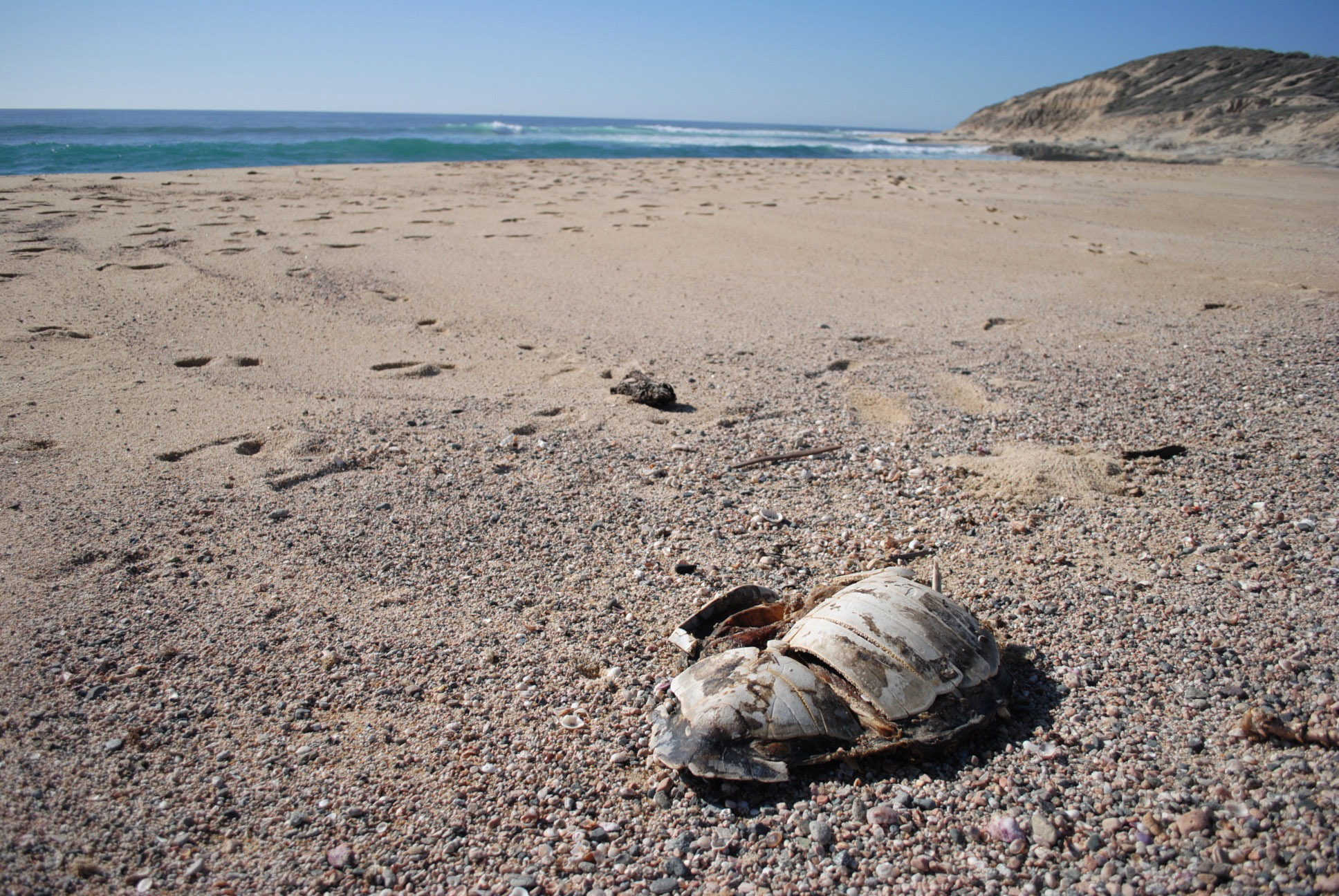 The carapace of a sea turtle carcass washed ashore.